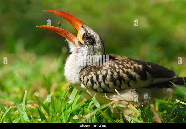 Red-billed Hornbill (Tochus erythrorhynchus) feeding on seeds in The Gambia - Stock-Bilder