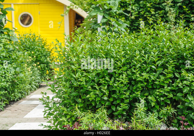 california privet ligustrum ovalifolium stock photos. Black Bedroom Furniture Sets. Home Design Ideas