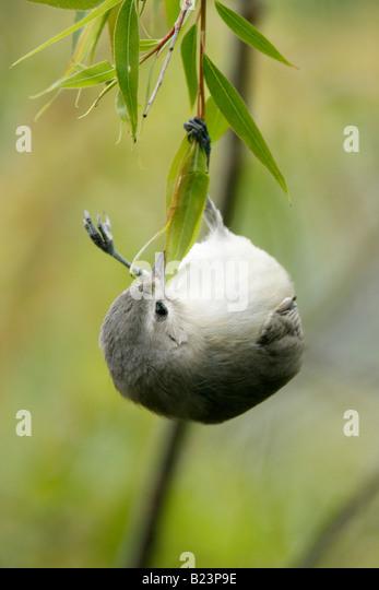 Warbling Vireo Feeding in Willow Tree Vertical - Stock-Bilder
