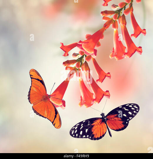 Trumpet Vine Bloom and Butterflies - Stock Image