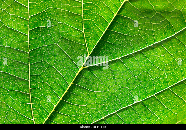 Mulberry leaf, green leaf, green, leaf, veins, macro, close-up, close up, earth - Stock Image