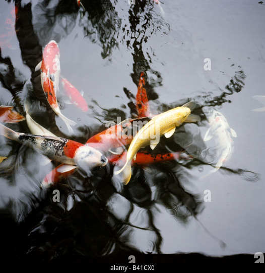 Reflections of palm trees in a koi pond in Kuaui, Hawaii. - Stock Image