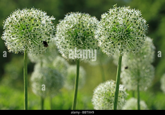 Alliums and bee - Stock Image
