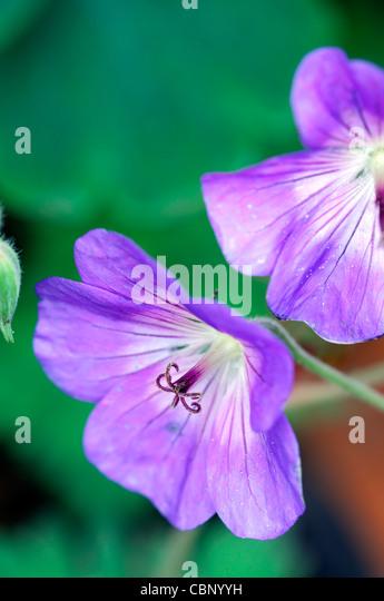 geranium jolly bee rozanne cranesbill flowers blooms blossoms perennials blue purple closeup close up - Stock Image