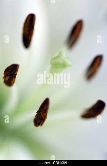 Stamens and stigma of white Lily Flower (Lilium genus) - Stock-Bilder