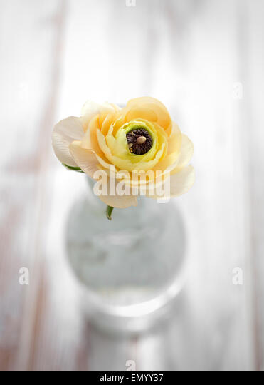 Ranunculus in pale yellow and orange - Stock Image