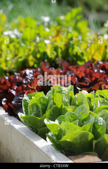 Salad leaves growing in raised vegetable beds UK - Stock Image