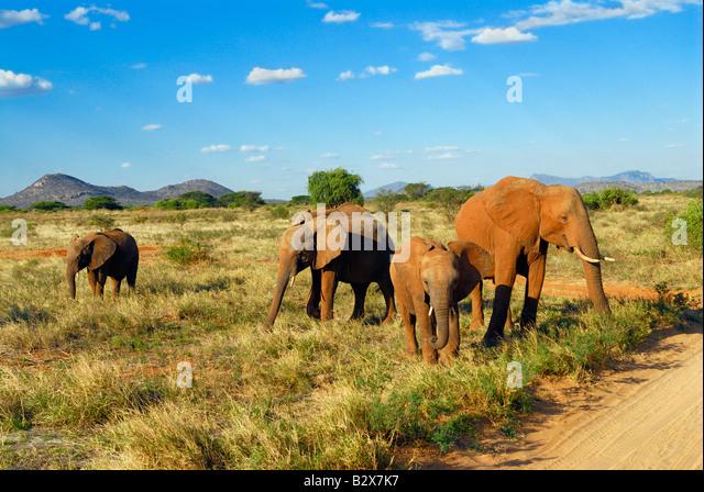 herd of African Elephant Loxodonta africana SAMBURU NATIONAL PARK KENYA Africa - Stock Image
