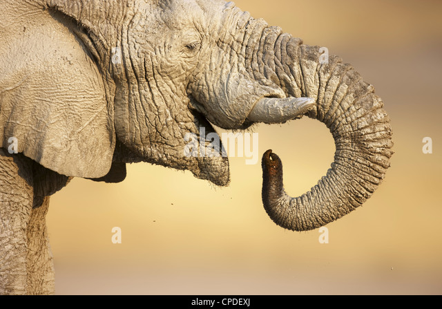 Close-up view of a muddy elephant drinking water in Etosha - Stock-Bilder
