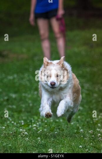 Vertical photo of a blonde border collie mix running full speed towards the camera with its owner in the background - Stock-Bilder