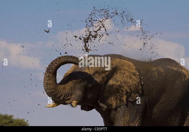 Elephant splashing mud, Etosha National Park, Namibia. - Stock-Bilder