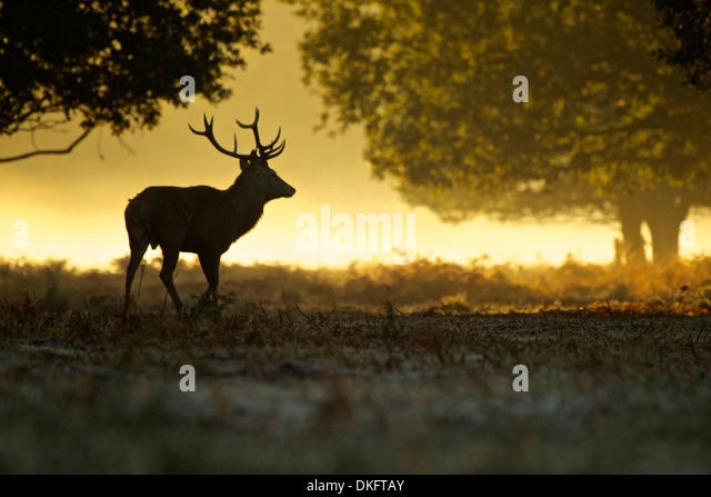 Silhouette of red deer stag at dawn - Stock Image