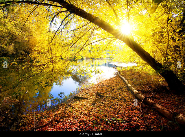 Yellow maple in autumn wood near river - Stock Image