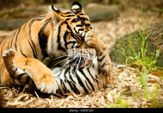A mother tigress cleans her cub tiger - Stock Image