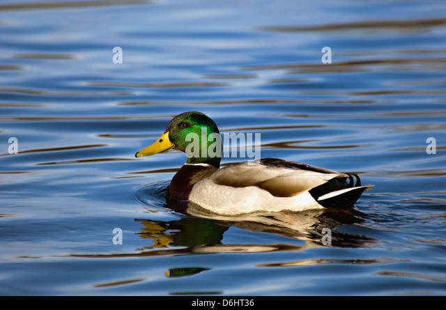 Mallard Duck Male Swimming on Pond in Clark County Indiana - Stock Image