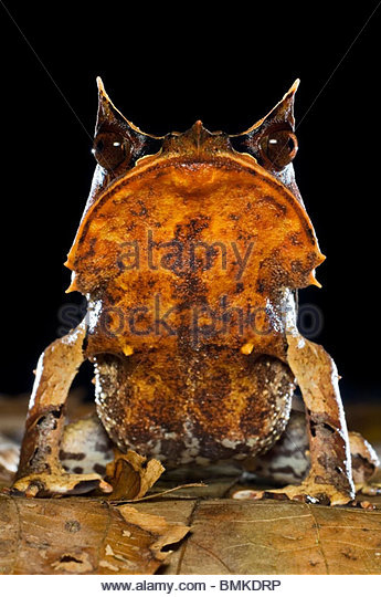 Portrait of Bornean Horned Frog amongst leaf-litter in forest floor, taken at night. Danum Valley, Sabah, Borneo. - Stock-Bilder