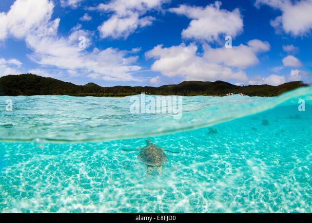 Sea turtle swimming, okinawa, japan - Stock Image