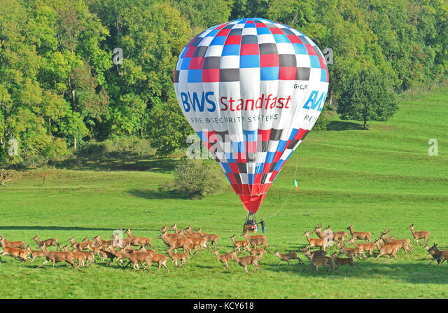 Bristol, UK. 08th Oct, 2017. UK  Deer at Ashton Court Estate in Bristol try out running a hot air balloon on a warm - Stock Image