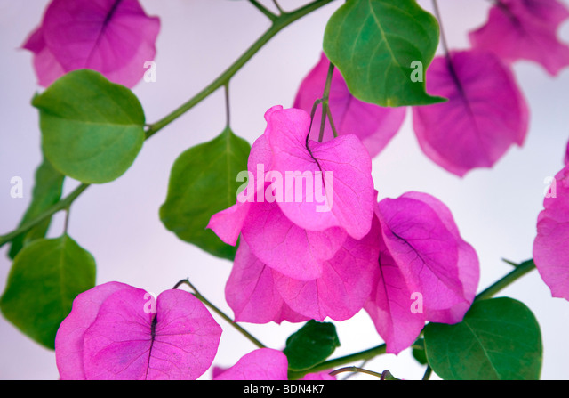 Bougainvillea next to white wall. Los Angeles, CA - Stock Image