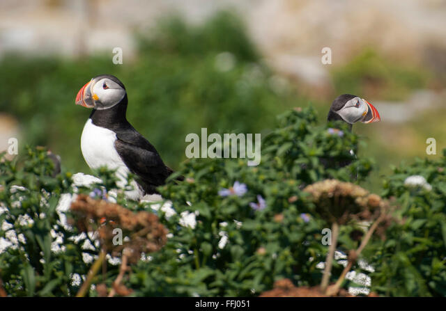 Decline in an Atlantic Puffin Population: Evaluation of Magnitude and Mechanisms