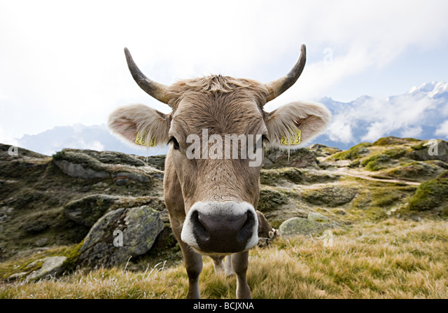 Cow in a swiss field - Stock Image