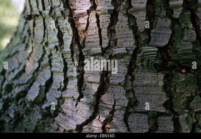 Cedar of Lebanon, Lebanon cedar (Cedrus libani, Cedrus libanotica), bark - Stock Image