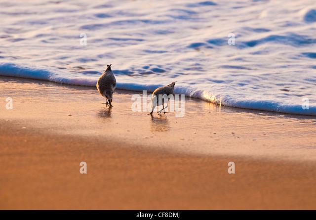 Sanderlings-'Hunakai' in Hawaiian language (Calidris alba), Polihale Beach, Kauai, Hawaii - Stock-Bilder