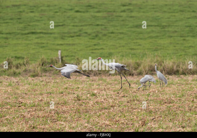 Australian cranes - Brolgas flying, dancing, playing or grazing on agricultural fields of the Atherton Tablelands. - Stock Image