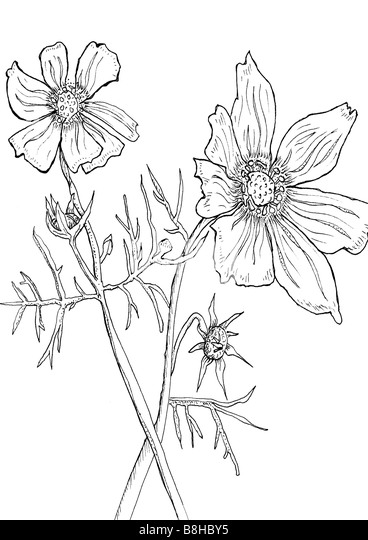 Line drawing of Anemones - Stock Image