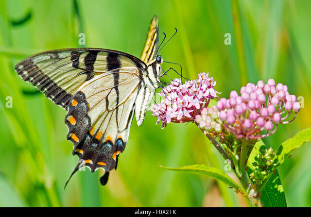 Tiger Swallowtail Butterfly feeding on flowers - Stock Image
