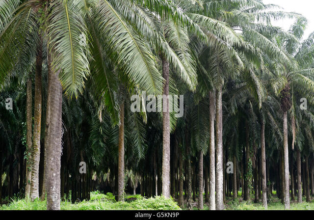 Palm oil plantation, near Quepos, CR. These monocultures support very little wildlife and contributes to biodiversity - Stock Image