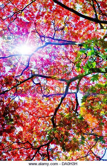 sunshine leaves - Stock Image