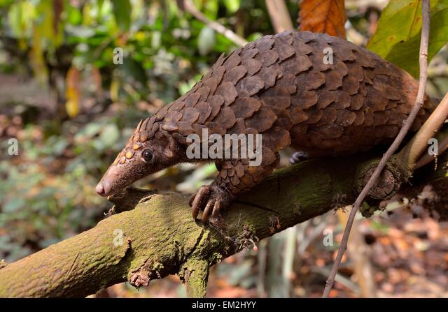 http://n7.alamy.com/zooms/52f0f88df23a4b3b931e5012d801ce19/long-tailed-pangolin-phataginus-tetradactyla-mangamba-littoral-province-em2hyy.jpg Pangolin Tail