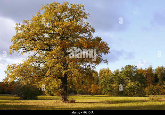 Open meadow in floodplain with solitary oak tree, autumn, Middle Elbe Biosphere Reserve, Dessau, Saxony-Anhalt, - Stock Image