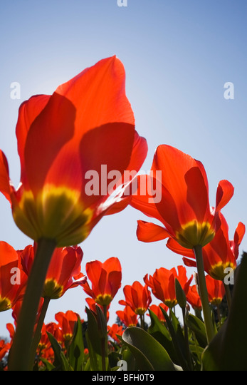 Close-up of red and yellow tulips against a blue sky background at springtime. Montreal Botanical Garden, Quebec, - Stock Image