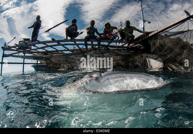 Local fishermen on bagan (fishing boat with platform and nets) with whale shark, Cenderawasih Bay, New Guinea (Rhincodon - Stock-Bilder