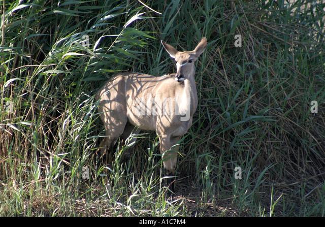 Female Kudu in Etosha National Park, Namibia, Africa - Stock Image