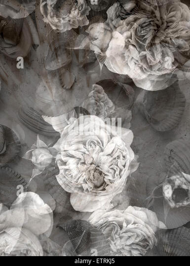 poetic photographic layer work fromroses and seashells in monotone colours, - Stock Image