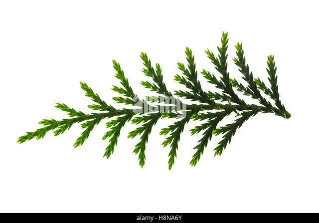 Nutka-Scheinzypresse, Nootka-Scheinzypresse, Alaska-Zeder, Alaskazeder, Xanthocyparis nootkatensis, Chamaecyparis - Stock Image