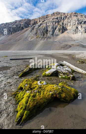 Whale remains in Gashamna (Goose Bay), Hornsund, Spitsbergen Island, Svalbard Archipelago, Norway, Scandinavia, - Stock Image