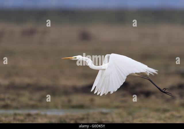 Great egret from Germany - Stock-Bilder