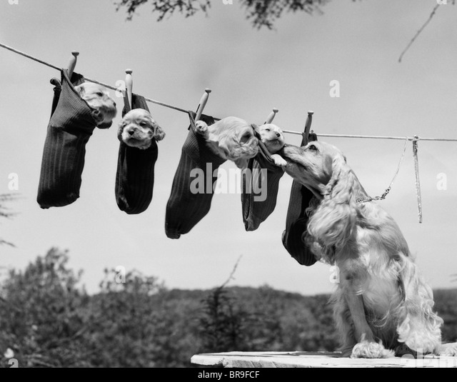 1950s MOTHER COCKER SPANIEL TENDING HER 4 PUPPIES HANGING IN SOCKS ON A LAUNDRY CLOTHESLINE - Stock Image