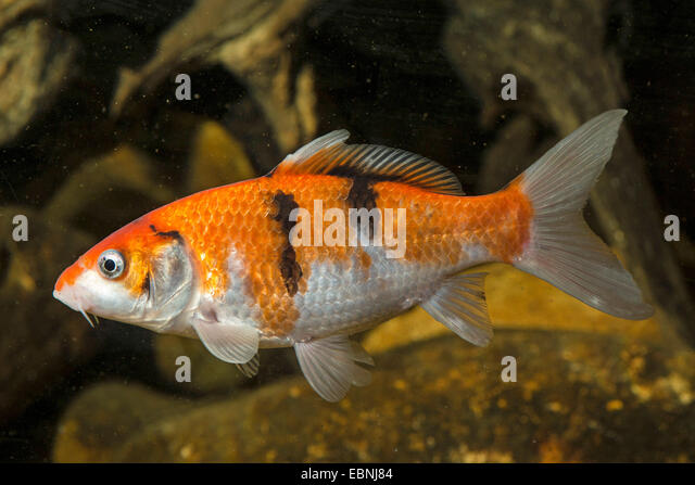 Common carp carpio cyprinus stock photos common carp for Cyprinus carpio koi