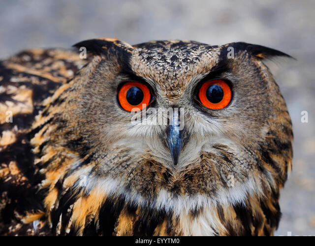 northern eagle owl (Bubo bubo), portrait, Germany - Stock Image