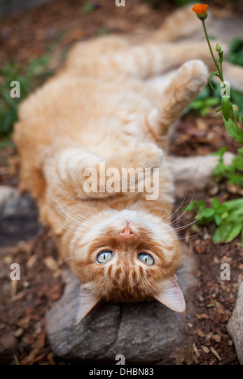 Orange tabby cat lying in garden - Stock Image