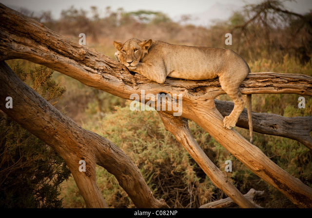 Lion resting on dead tree, Masai Mara, Kenya - Stock Image