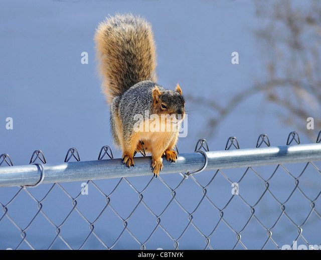 a squirrel sitting on a fence against a blue sky - Stock Image