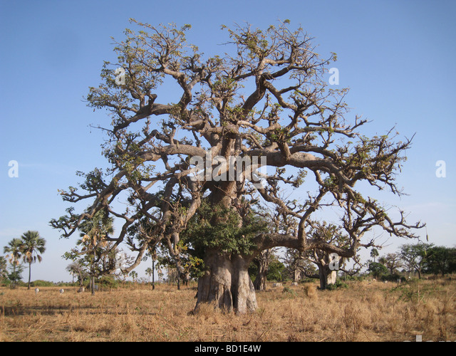 BAOBAB  TREE (Adansonia digitata) near the coast in Senegal towards the northern limit of its range - Stock Image