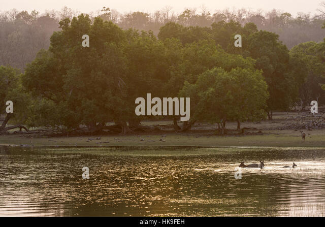 Sambar (Rusa unicolor) feeding on water plants in lake at sunset, Tadoba National Park, Maharashtra, India, April - Stock-Bilder