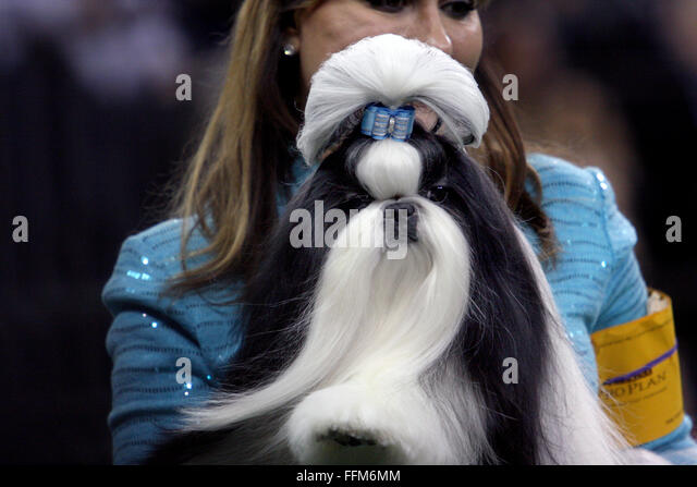New York, USA. 15th February, 2016. GCH Wenrick's Don't Stop Believing, A Shih Tzu prepares for the Toy - Stock Image